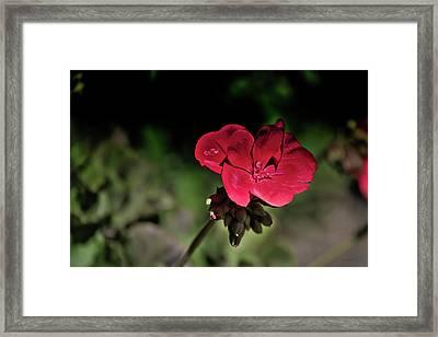 Blooming Red Geranium Framed Print