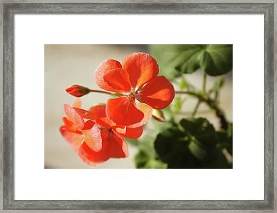 Blooming Red Geranium Framed Print by Larissa Davydova