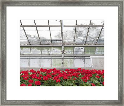 Blooming Red Geraniums Framed Print by Thom Gourley/Flatbread Images, LLC