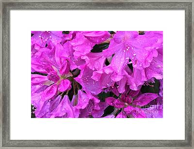 Blooming Rhododendron Framed Print