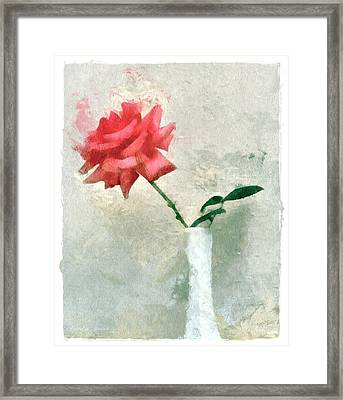 Blooming Rose Framed Print