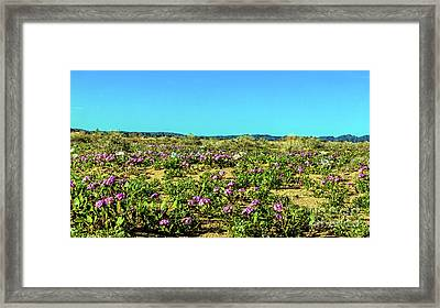 Framed Print featuring the photograph Blooming Sand Verbena by Robert Bales
