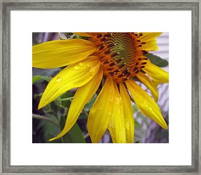 Blooming Sunflower Framed Print by Barbara McDevitt