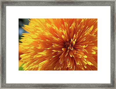 Blooming Sunshine Framed Print by Marie Leslie