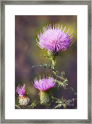 Blooming Thistle Framed Print