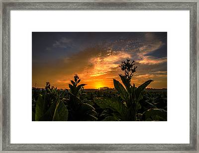 Blooming Tobacco Framed Print