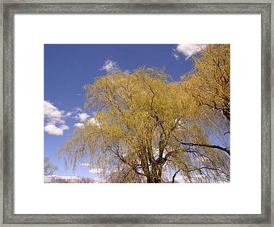 Blooming Weeping Willow Framed Print
