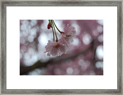 Blossom In Pink Framed Print by Peter  McIntosh