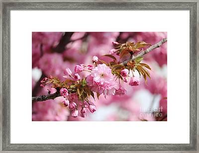 Blossoming Branch Framed Print by Carol Groenen