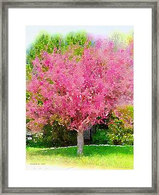 Blossoming Crabapple Tree Framed Print by Donald S Hall
