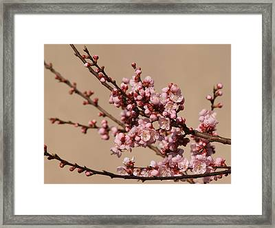 Blossoming In Pink Framed Print by Polonca Supej