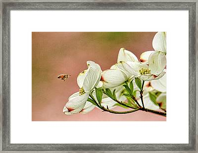 Blossoms And Bee Framed Print