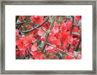 Blossoms Branches And Thorns Framed Print by Carol Groenen