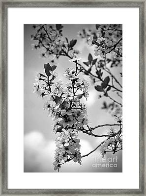 Blossoms In Black And White Framed Print