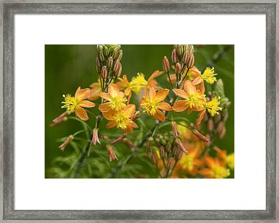 Blossoms Of Spring Framed Print by Stephen Anderson