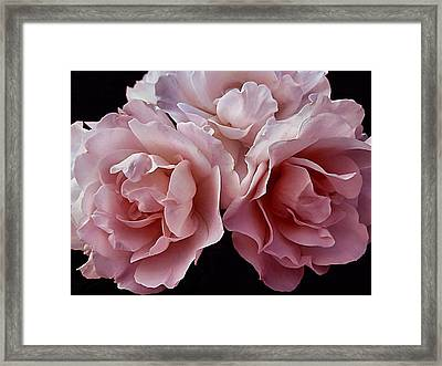 Blowsy Roses Framed Print