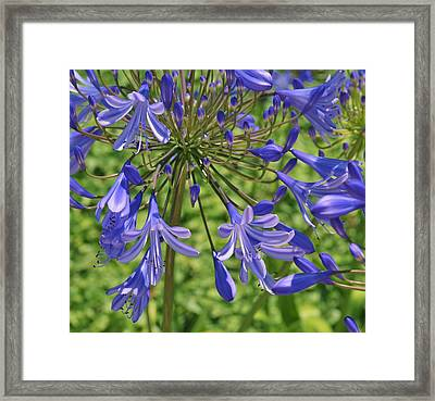 Blue Agapanthus Lily Macro  Framed Print