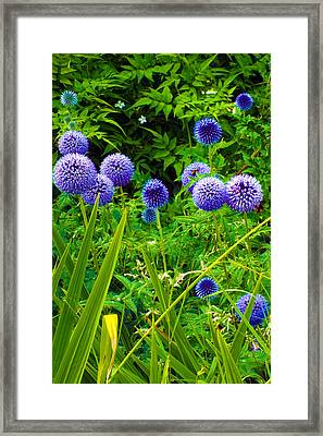 Blue Allium Flowers Framed Print