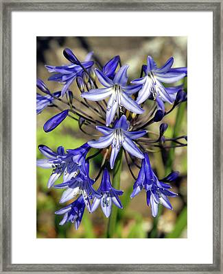 Blue Allium Framed Print by Robert Shard