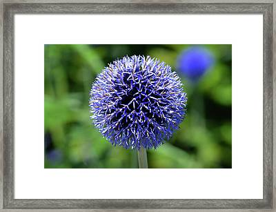 Framed Print featuring the photograph Blue Allium by Terence Davis