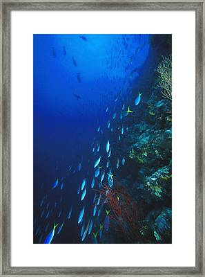 Blue And Gold, Fusiler, Caesio Teres Framed Print by James Forte