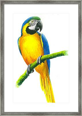 Blue And Gold Macaw Framed Print by Christopher Cox