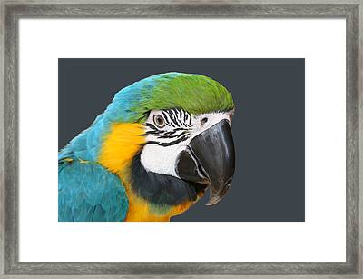 Blue And Gold Macaw Digital Freehand Painting Framed Print by Ernie Echols