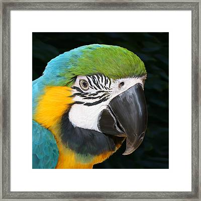 Blue And Gold Macaw Freehand Painting Square Format Framed Print by Ernie Echols