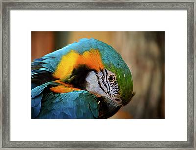 Blue And Gold Macaw Framed Print by Maria Angelica Maira