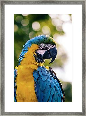 Blue And Gold Macaw Framed Print by Happy Home Artistry