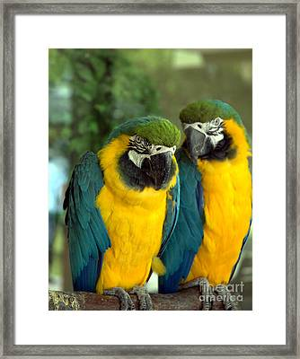 Blue And Gold Macaws Framed Print
