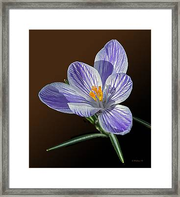 Blue And White Crocus Framed Print by Brian Wallace