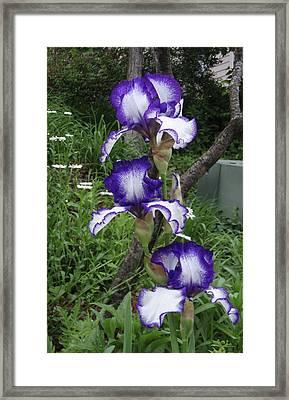 Blue And White Iris Monet Like Framed Print