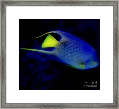 Blue And Yellow Fish Framed Print by Kathleen Struckle