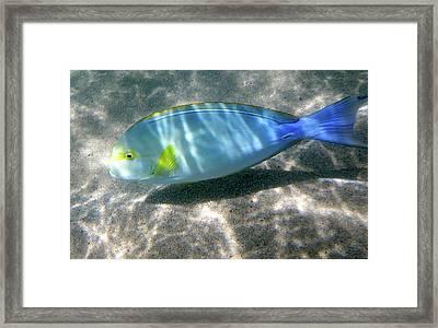 Blue And Yellow Hawaiian Reef Fish Framed Print by Erika Swartzkopf
