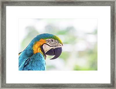Blue And Yellow Macaw Closeup Framed Print by Jess Kraft