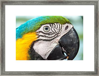 Blue And Yellow Macaw Face Framed Print by Jess Kraft