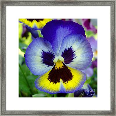 Blue And Yellow Pansy Framed Print by Nancy Mueller