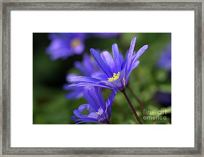 Blue Anemone  Framed Print by Sharon Talson