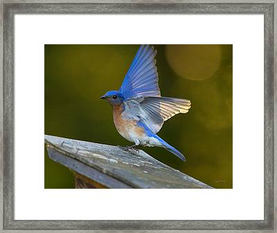 Blue Angel Boy Framed Print by Angel Cher