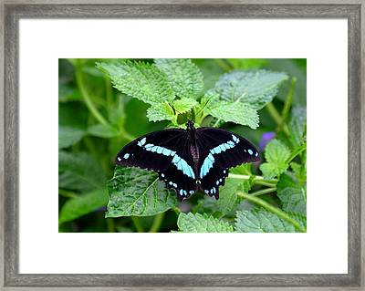 Blue Banded Swallowtail Butterfly Framed Print