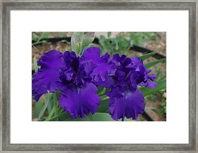 Blue Bearded Irises Framed Print by Robyn Stacey
