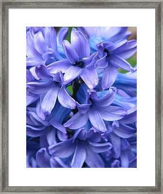 Blue Belles Framed Print by Staci-Jill Burnley