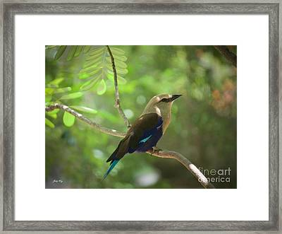 Blue Bellied Roller Edition 4 Framed Print by Judy Kay