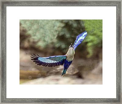 Blue-bellied Roller In Flight Framed Print