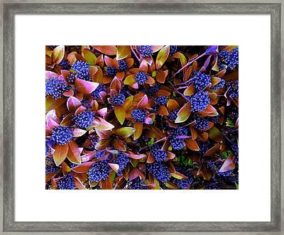 Blue Berries Framed Print