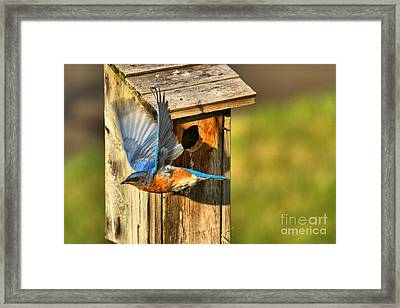 After The Feeding Framed Print by Adam Jewell