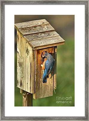 Mouthful Of Meal Worms Framed Print by Adam Jewell