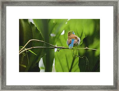 Framed Print featuring the photograph Blue Bird Has An Itch by Raphael Lopez