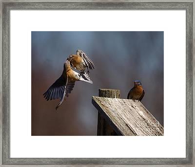 Blue Bird Mayhem Framed Print by Robert Pearson